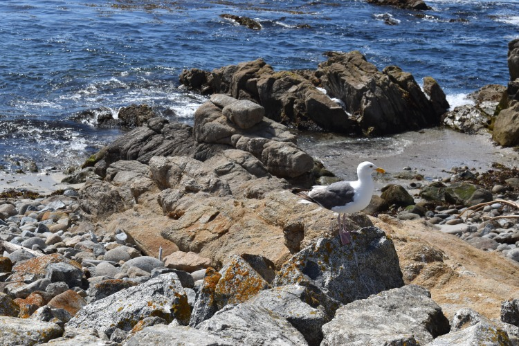 A seagull perches atop a rock on Pebble Beach along California's 17 Mile Drive