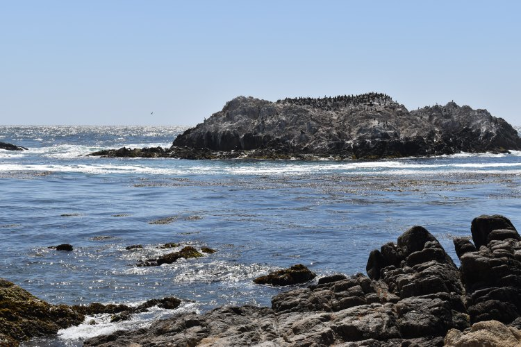 Bird Rock covered in sea lions and gulls in Pebble Beach along the 17 mile drive in california