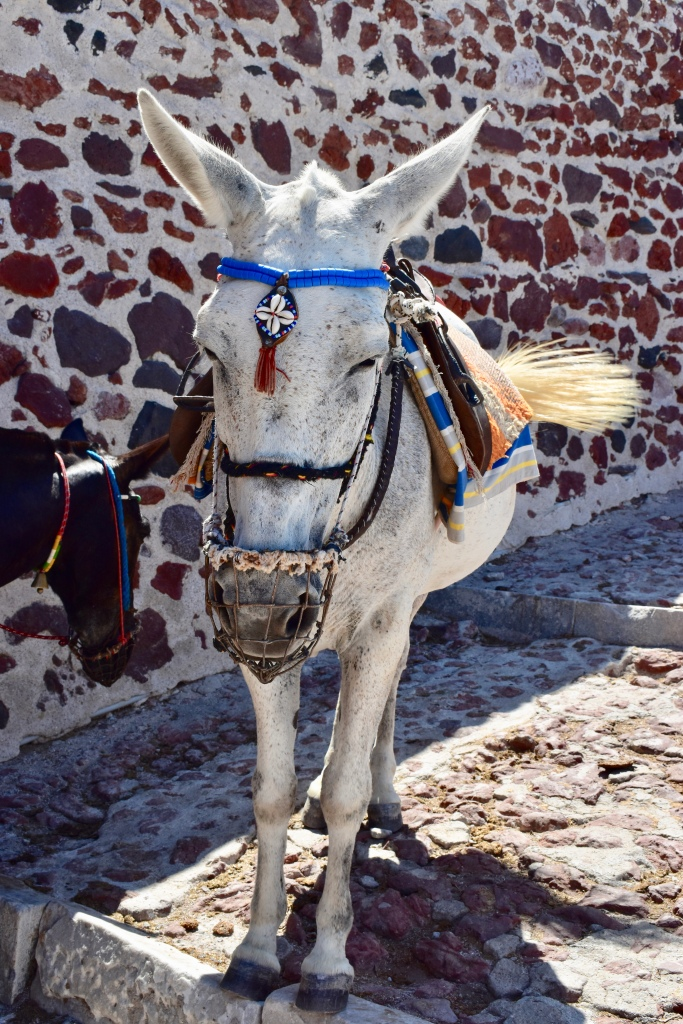A white donkey wearing traditional headress stands in Oia Santorini Greece