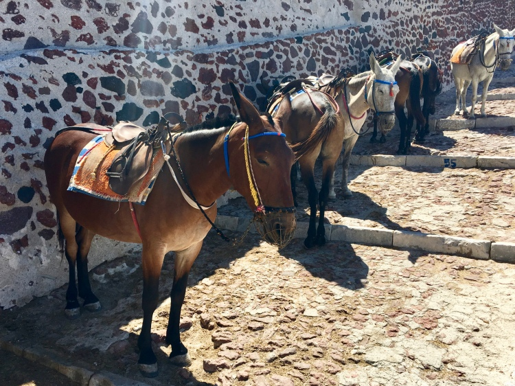 A row of donkeys waiting for riders in Oia Santorini Greece