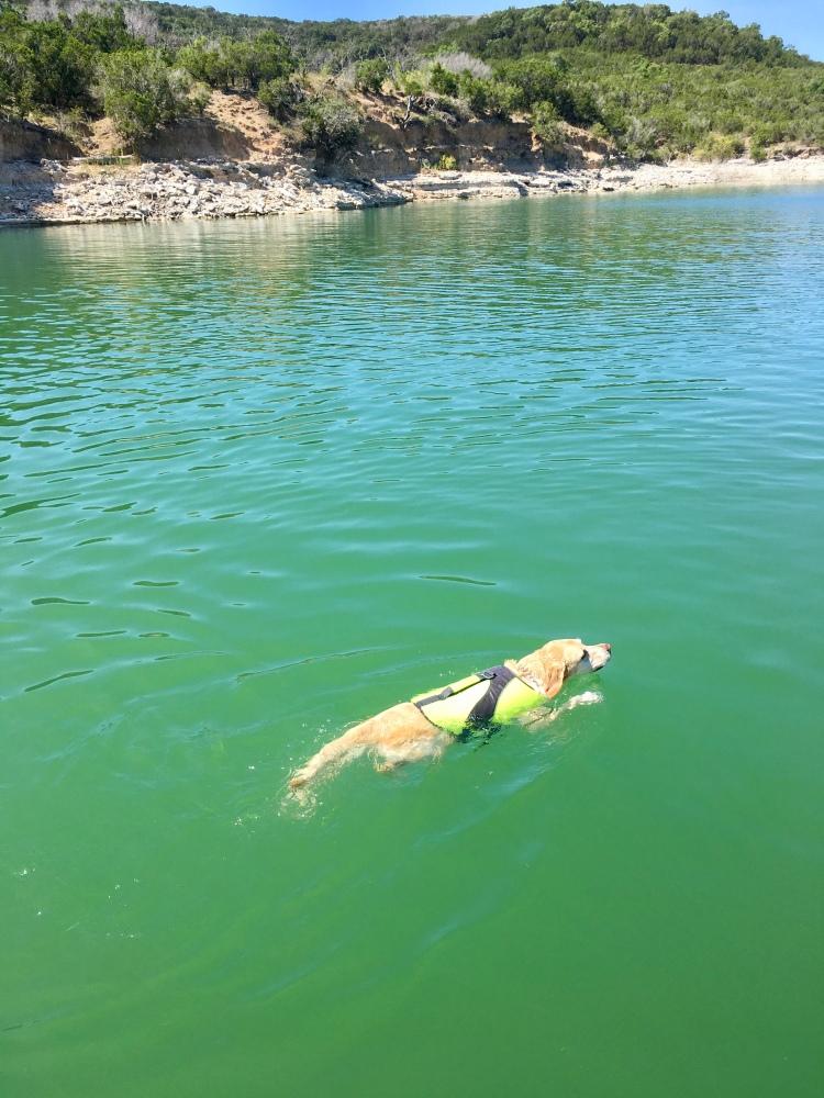 A yellow labrador retriever wearing a dog life vest swims in Medina Lake, Texas